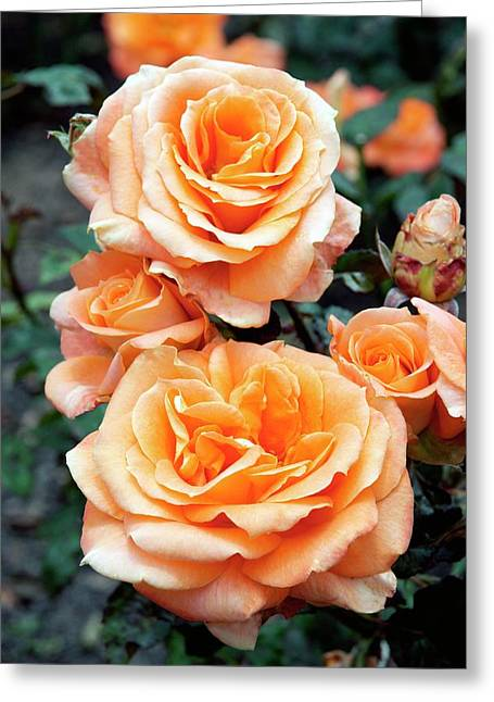 Rose (remy Martin) Greeting Card by Brian Gadsby/science Photo Library