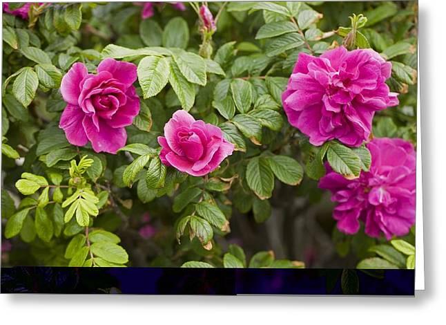 Rose (rosa Gallica Var Officinalis) Greeting Card