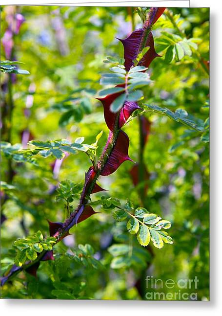 Rose Rosa Sericea Pteracantha Greeting Card by Dr. Keith Wheeler