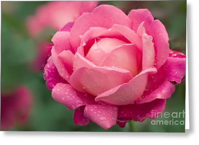 Rose Rosa Star Of The Nile Greeting Card