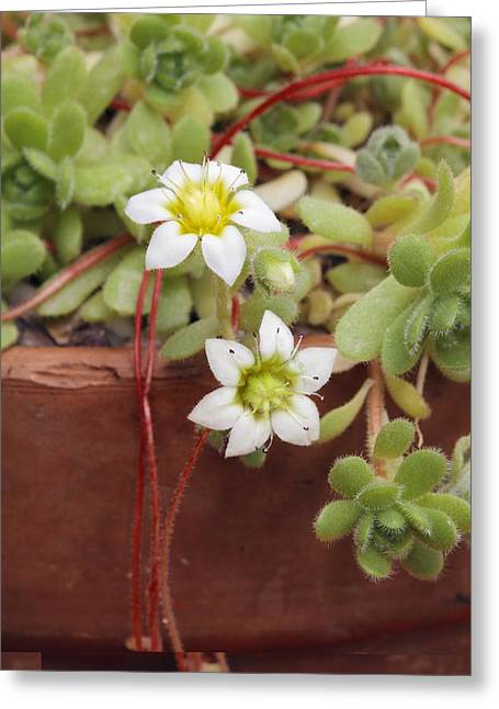 Rosularia Sedoides Var Alba Greeting Card by Science Photo Library