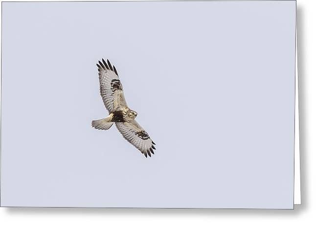 Rough-legged Hawk In Flight Greeting Card by Thomas Young