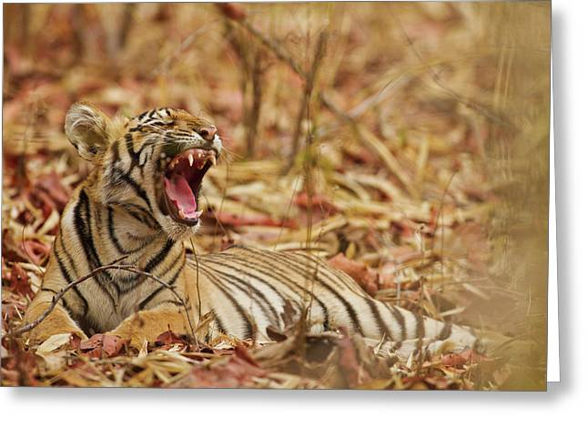 Royal Bengal Tiger Cub Yawning, Tadoba Greeting Card by Jagdeep Rajput