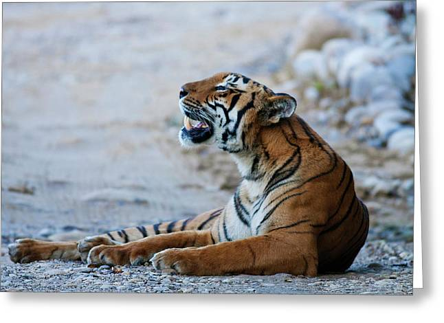 Royal Bengal Tiger (male Greeting Card by Jagdeep Rajput