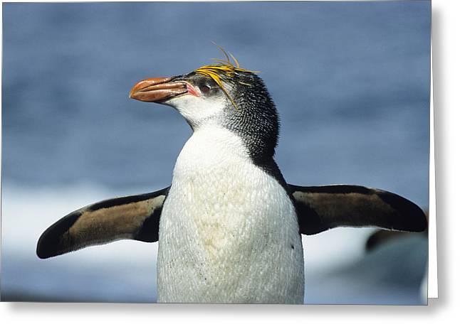 Royal Penguin Macquarie Isl Antarctica Greeting Card by Konrad Wothe