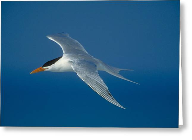 Royal Tern Greeting Card by Paul J. Fusco