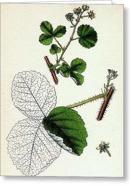 Rubus Leesii Lees Raspberry Greeting Card by English School