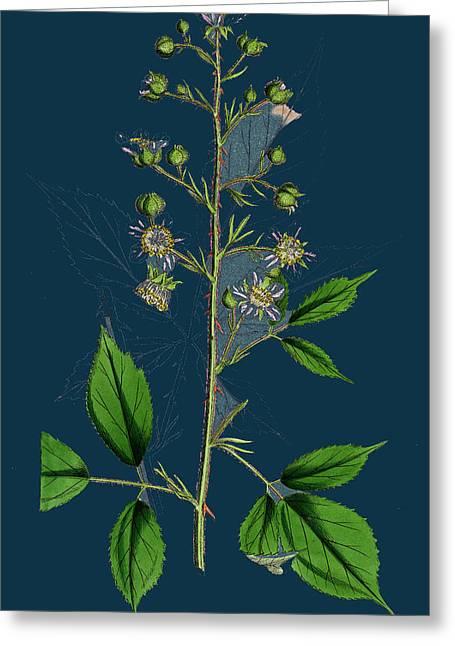 Rubus Radula File-stemmed Bramble Greeting Card