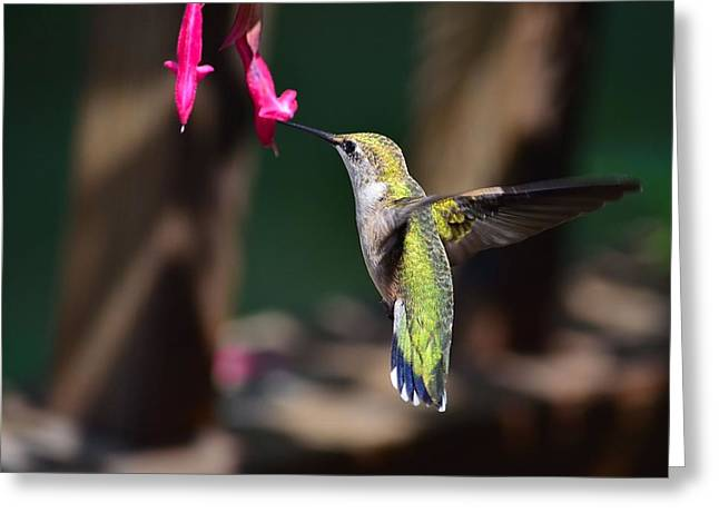 Ruby Throat Hummingbird Greeting Card