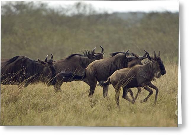 Running Wildebeest Greeting Card by John Shaw