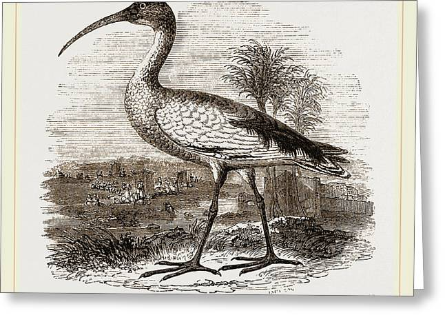 Sacred Ibis Greeting Card by Litz Collection
