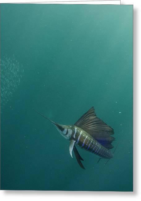 Sailfish (istiophorus Greeting Card by Pete Oxford