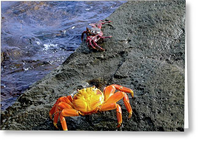 Sally Lightfoot Crabs, Grapsus Grapsus Greeting Card by Miva Stock