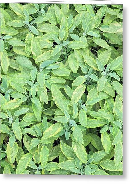 Salvia Officinalis 'icterina' Greeting Card