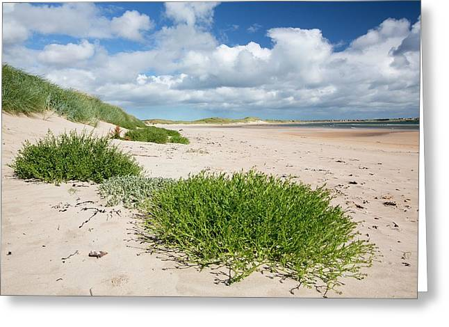 Sand Dunes At Beadnell Bay Greeting Card by Ashley Cooper