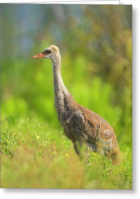 Sandhill Crane Chick Resting In Grass Greeting Card