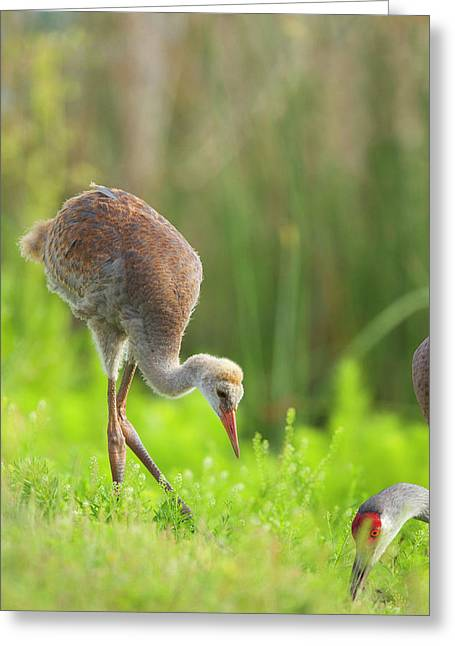 Sandhill Crane Feeding Chick, Grus Greeting Card