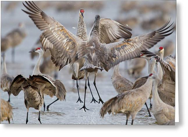Sandhill Cranes Dancing On The Platte Greeting Card