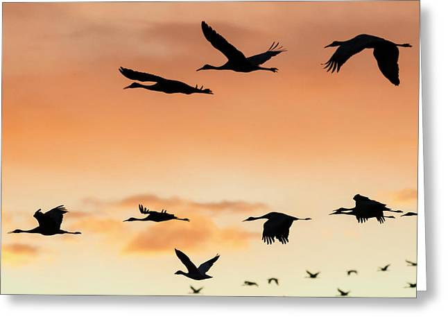 Sandhill Cranes Flying At Sunset Greeting Card