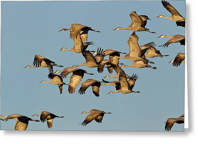 Sandhill Cranes Leave Corn Fields Greeting Card