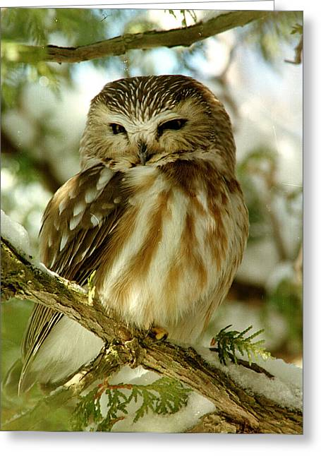 Sawhet Owl Greeting Card