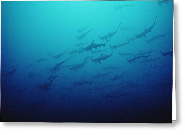Scalloped Hammerhead Shark School Cocos Greeting Card by Flip Nicklin