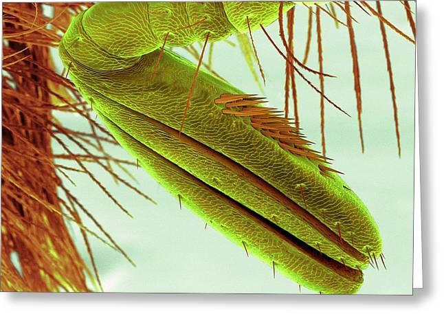 Scarab Beetle Antenna Greeting Card