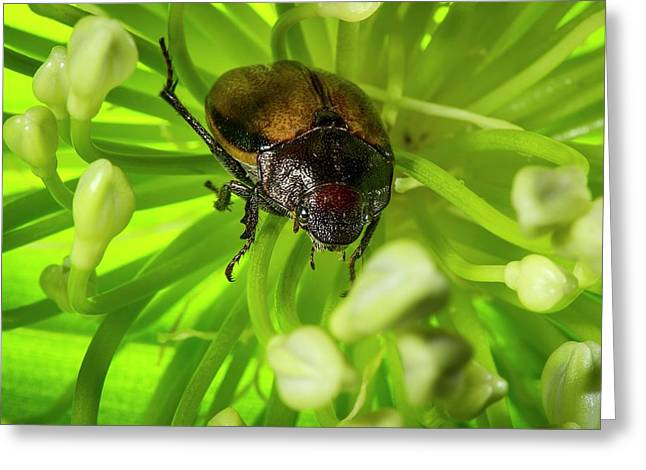Scarab Beetle On A Flower Greeting Card by Philippe Psaila