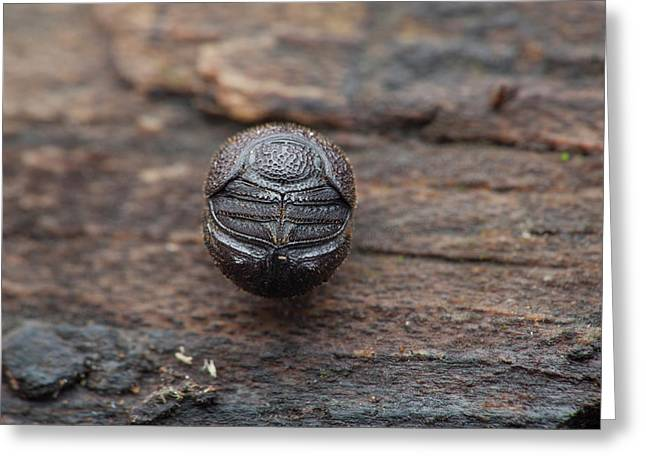 Scarab Beetle Rolled Up In Defence Greeting Card by Melvyn Yeo