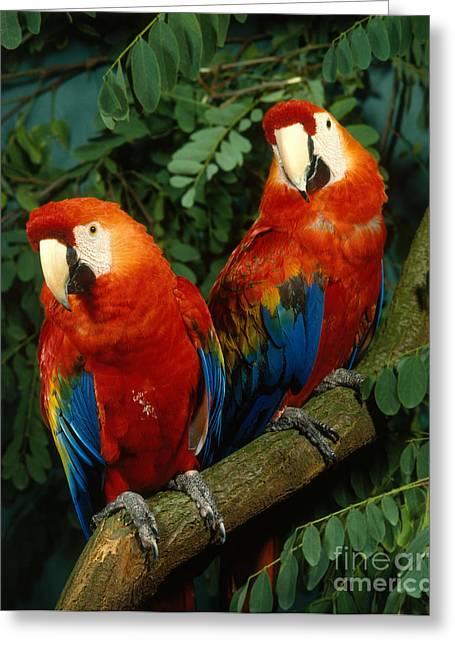 Scarlet Macaw Greeting Card by Hans Reinhard