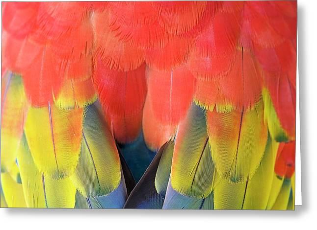 Scarlet Macaw Plumage Greeting Card