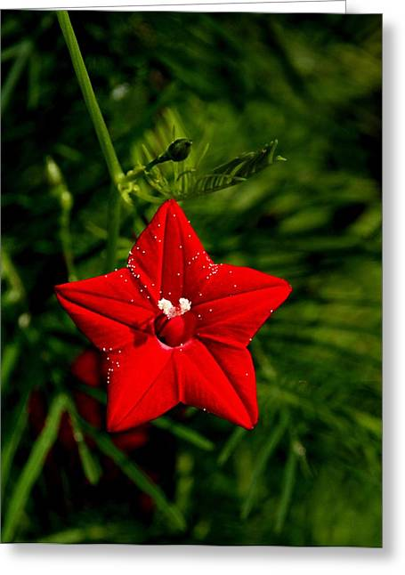 Scarlet Morning Glory Greeting Card by Ramabhadran Thirupattur