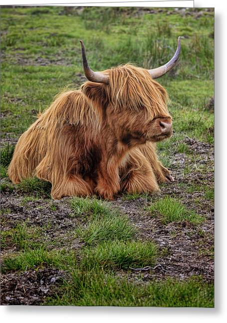 Scottish Highland Cattle Greeting Card