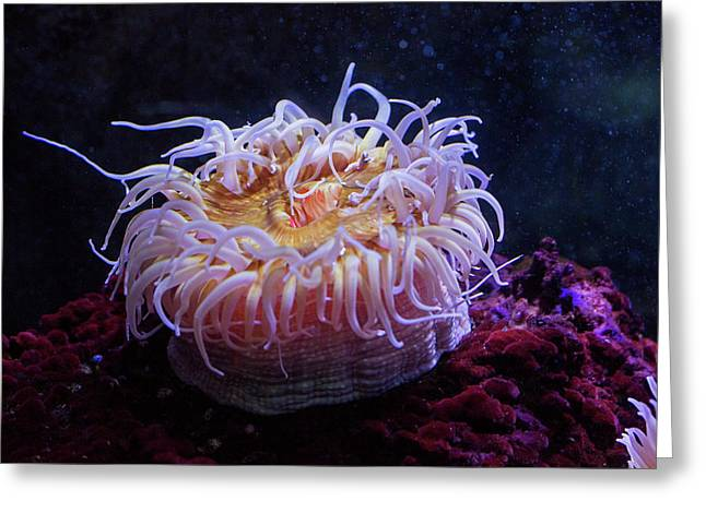 Sea Anemone Greeting Card by Jim West
