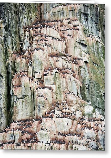 Sea Bird Nesting Cliffs At Aalkefjellet Greeting Card by Ashley Cooper