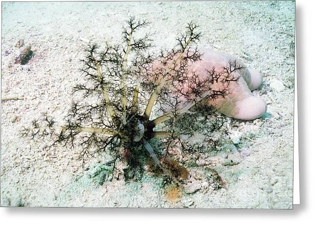 Sea Cucumber And Starfish Greeting Card