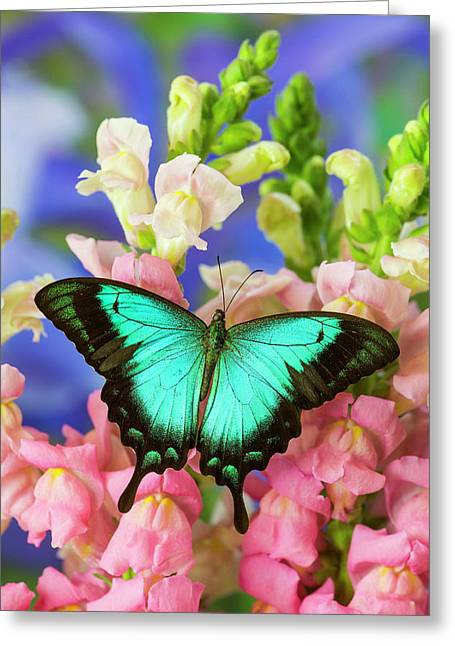Sea Green Swallowtail Butterfly, Papilio Greeting Card