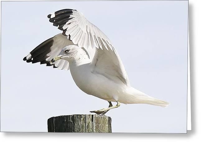 Sea Gull Greeting Card by Paulette Thomas