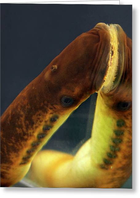 Sea Lamprey Mouth Greeting Card by Dorit Hockman