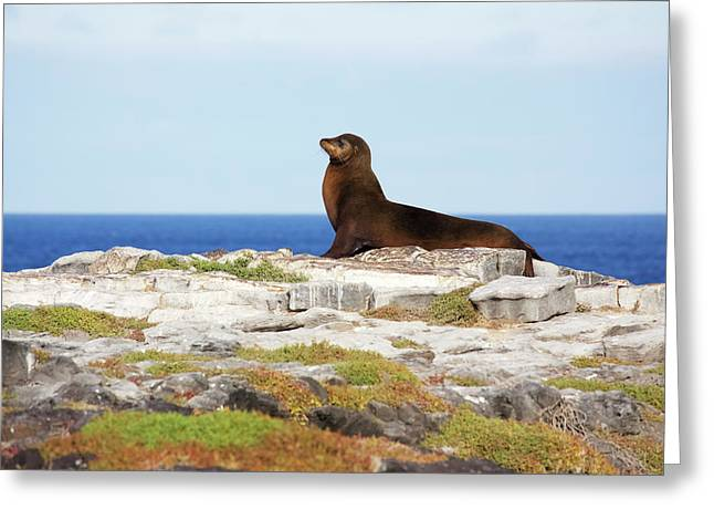 Sea Lion On Rocky Promontory Above Blue Greeting Card