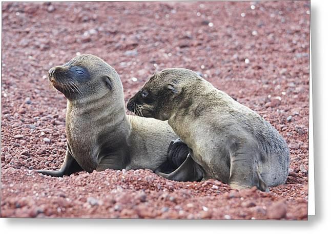 Sea Lion Pups On The Beach Greeting Card by Brian Kamprath