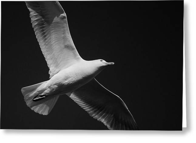 Seagull Underglow - Black And White Greeting Card
