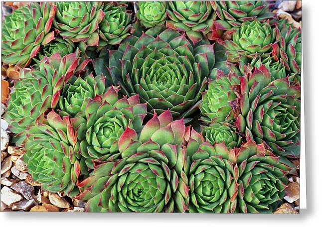 Sempervivum 'rubra Ray' Greeting Card by Anthony Cooper/science Photo Library