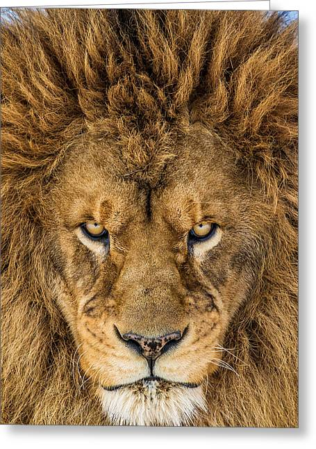 Serious Lion Greeting Card by Mike Centioli