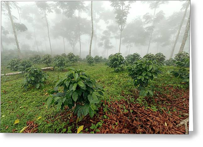 Shade-grown Coffee Plantation Greeting Card by Dr Morley Read