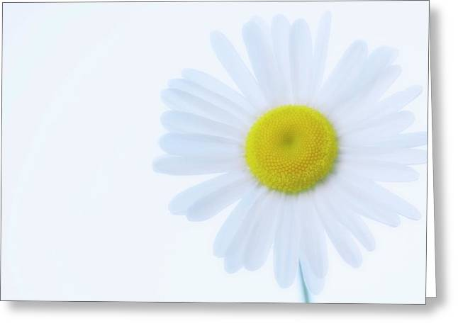Shasta Daisy (leucanthemum X Superbum) Greeting Card by Maria Mosolova/science Photo Library