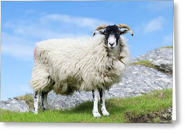 Sheep (cheviot) On The Isle Of Harris Greeting Card by Martin Zwick