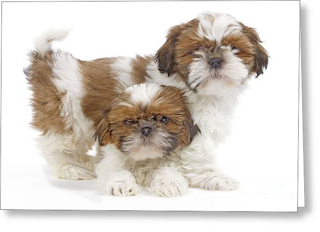Shih Tzu Dog Greeting Cards Page 11 Of 14 Fine Art America