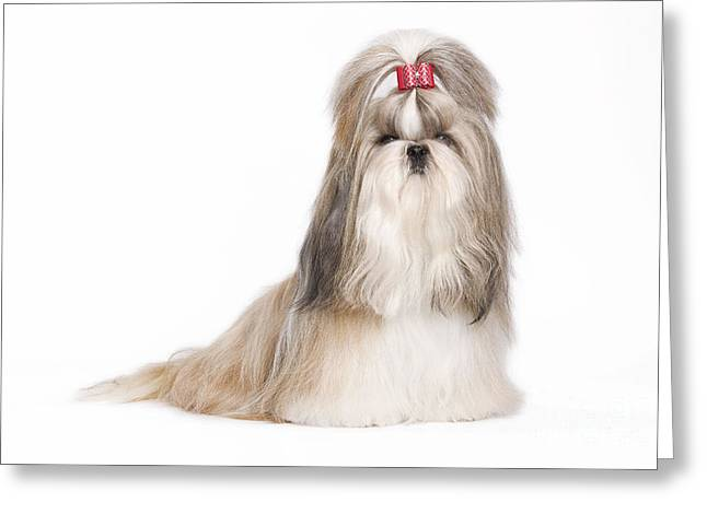 Shih Tzu With Bow Greeting Card