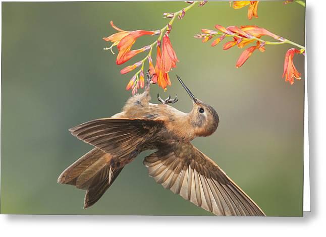 Shining Sunbeam Hummingbird Greeting Card by Dan Suzio